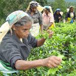 tea-worker1